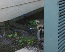 Raccoon removal and control Burke VA