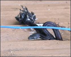 Snake control in Burke VA